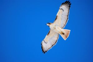 Blue Sky Redtail by SuicideBySafetyPin