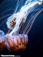 Jellyfish 02 by Kassworkshop