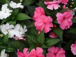 Pink and White Flowers II by Atlantagirl
