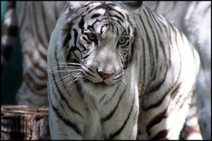 White Tiger at the Mirage by AF--Photography