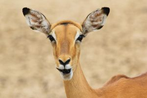 Impala - African Wildlife - Natural Expressions by LivingWild