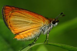 Bright little Skipper by natureguy