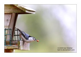 Nuthatch with Nut by Karl-B