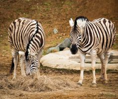 The Striped Brothers by JessicaGilray