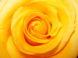 Yellow Rose by avoheighter
