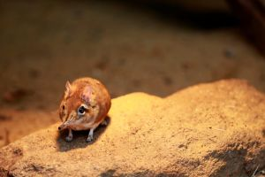 Elephant Shrew by MrBlueSky1987