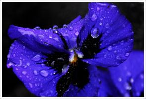 Pansy... by Dariaocean