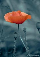 Poppy by alledesign