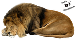Cut-out stock PNG 13 - sleeping lion by Momotte2stocks