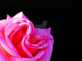 Pink Love by flowersteph
