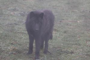 Gray Wolf Stock 33: Black Wolf in Fog by HOTNStock