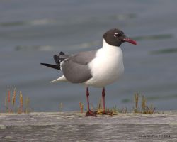 Laughing Gull Standing by SlateGray