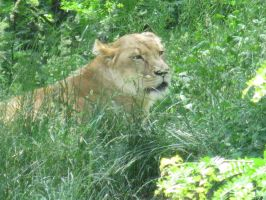 Lioness in the grass by Rennon-the-Shaved