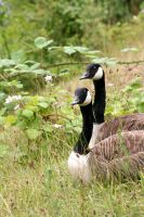 Canadian Geese by 12d3