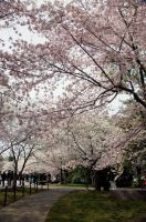 Cherry Blossom Festival 038 by FairieGoodMother