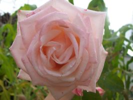 Pink Rose by Fainting-Ostrich