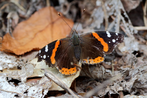 Red Admiral 6 by Gerryanimator