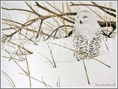 Image snowy owl snowy owl , watercolour and pencil by alanwoollett