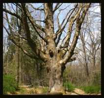 Bare White Oak Tree by Variety-Stock