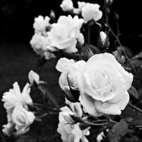 white rose by PsycheAnamnesis