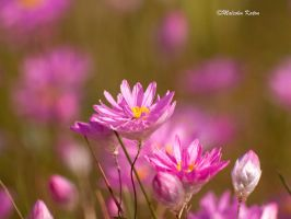 Pretty in Pink 2 by FireflyPhotosAust