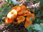 Orange Mushrooms by dolphinandcow