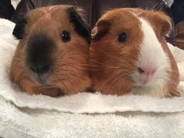 My Guinea Pigs by MeltedFondant