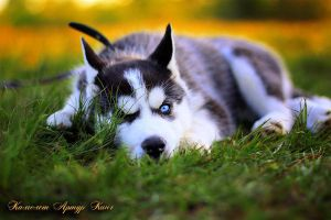 Husky Puppy Kamelot by JonneCat