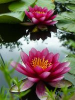 Water Lilly by worseevil