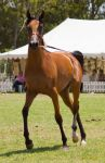 STOCK - TotR Arabians 2013-521 by fillyrox