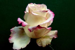 Pale yellow rose by April-Mo