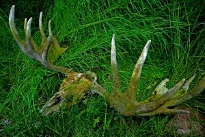 Moose Skull - Alaska by fourthwall