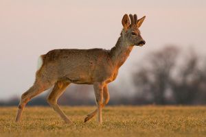 Roe at sunset by JMrocek
