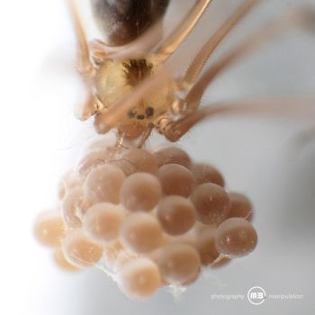Spider carrying her eggs around by MBKKR