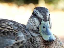 Closer Ducky Quack by ggeudraco