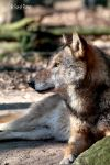 Europaeischer Grauwolf / European Graywolf 24 by bluesgrass