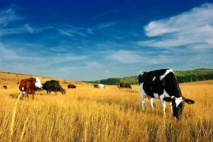 Cows by xistense