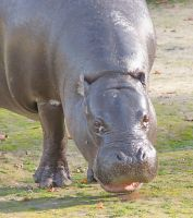 Smiling hippo by starykocur