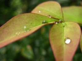 Raindrops on Leaves by natnat12347