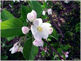 Apple Blossoms by JDM4CHRIST