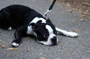 Boston Terrier at park 2 by downtempomusic