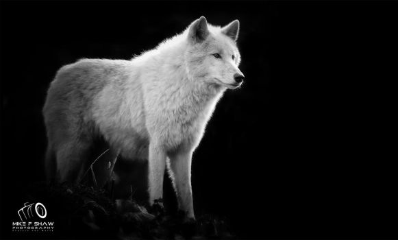 Arctic Wolf by MikeFShaw
