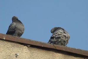pigeons 7 by deepest-stock