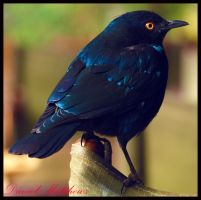 Burchell's Glossy Starling 1 by stainless2009
