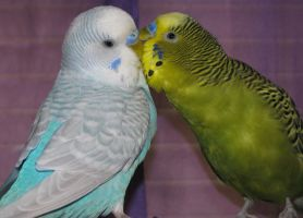 Mwah Budgie Kisses by Murphy1210