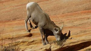 Bighorn Sheep, Zion National Park, Utah by PamplemousseCeil
