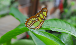 Costa Rican Butterfly by Tyrannax