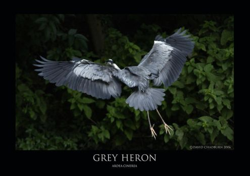 Grey Heron.1 by THEDOC4