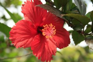 a beautiful Hibiscus by xXDavidhawkXx