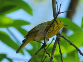 Yellow Warbler by LovingLivingLife